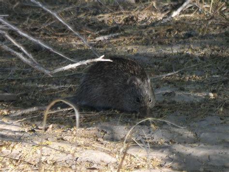 The Online Zoo   Arizona Cotton Rat