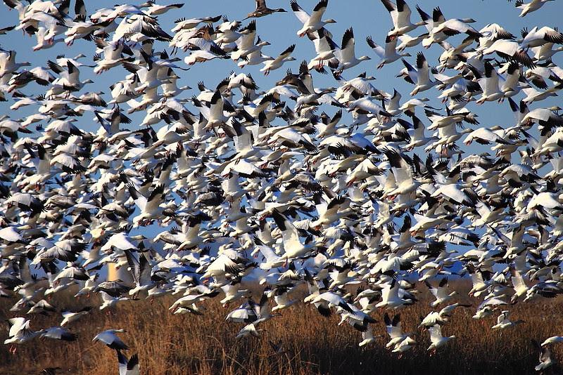 IMG_9378 Snow Geese