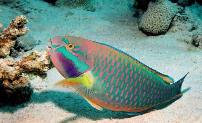 IKAN BAYAN ATAU PARROT FISH SPESIS TERANCAM?