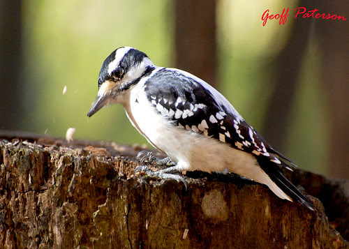 Hairy Woodpecker - October 12 2008
