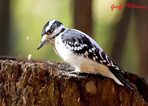 Hairy Woodpecker - October 12 2008