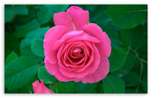 Pink Rose 4k Hd Desktop Wallpaper For 4k Ultra Hd Tv Wide