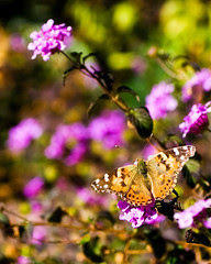butterfly_puple_flowers