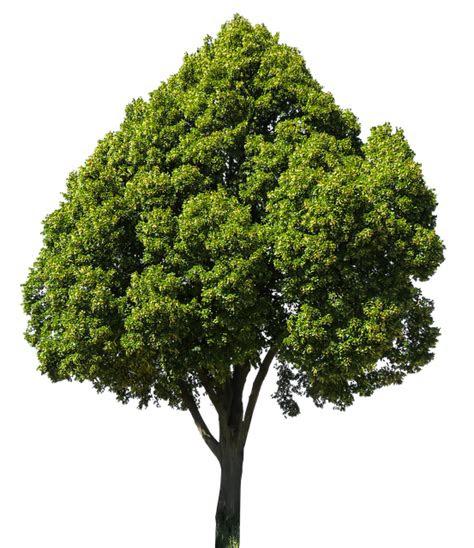 alam pohon linde foto gratis  pixabay