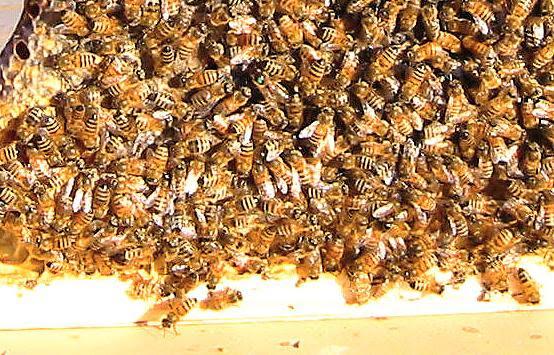 Golden mean bee hive plans   Wood plan