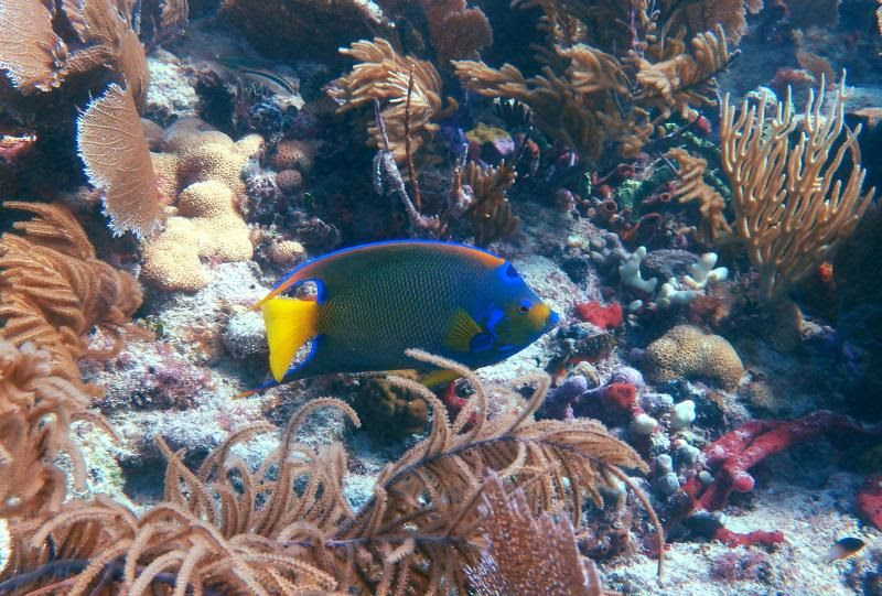 Majestic Queen Parrotfish photo PA251413_zpseb1f7b03.jpg
