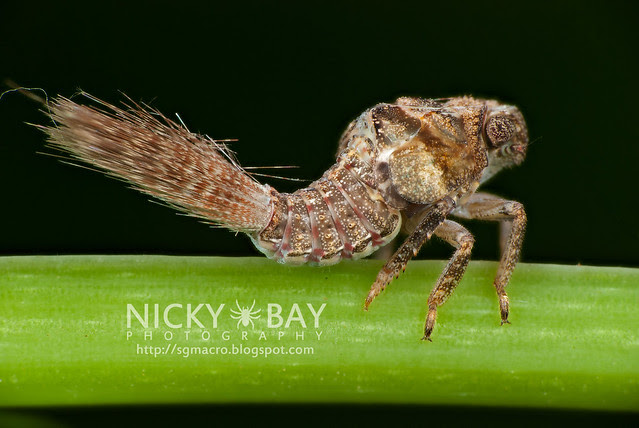 Planthopper nymph (Fulgoromorpha) - DSC_9923