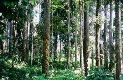 Lampung Barat (KRUI) Penghasil Damar Terbesar di Dunia