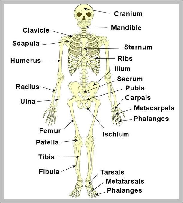 human body bones pictures