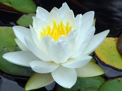 Las Notas De Hino Oh Ha Ni La Flor De Loto En El Budismo