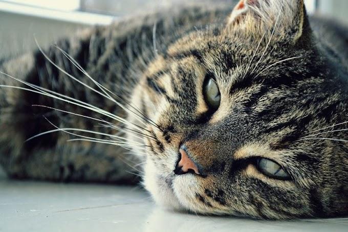 Todo sobre la artritis en gatos