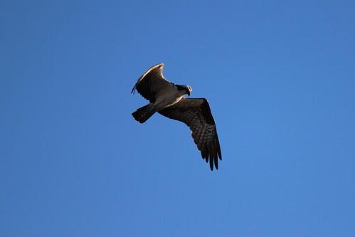 IMG_3741_Osprey