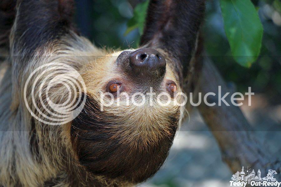 Sloth Toronto Zoo