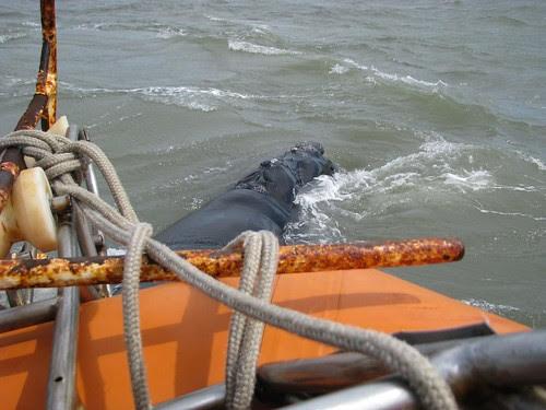 Baleia Franca próxima ao barco 05