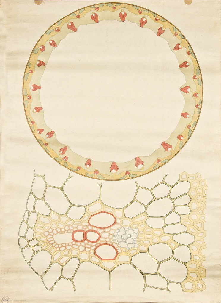 Monocot stem cross-section -- Anatomia Vegetal 1929, pub. by FE Wachsmuth g