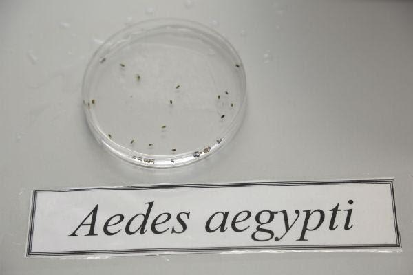 Imagem de larvas do Aedes aegypti (Foto: Alexandre Gondim / JC Imagem)