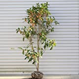 庭木:キンモクセイ H:約100-120cm