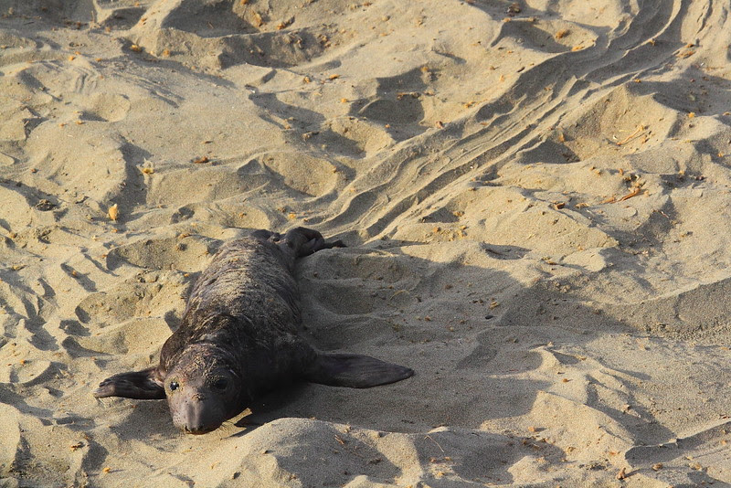 "IMG_4918 Elephant Seal Pup ""Footprint"""