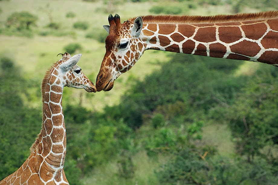 Reticulated Giraffe Mother And Baby Sean Crane Photography