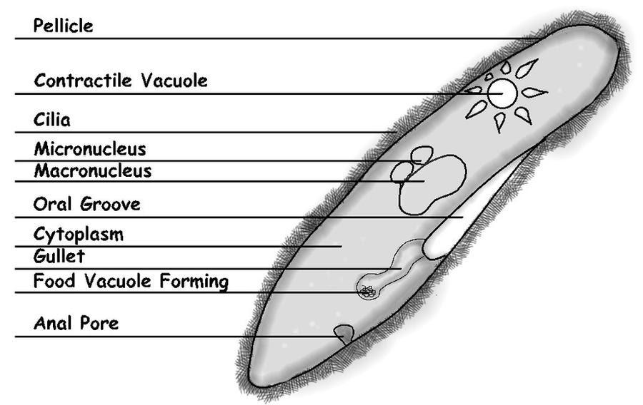 labeled_paramecium_diagram_by_sciencedoodles d3i8kpy