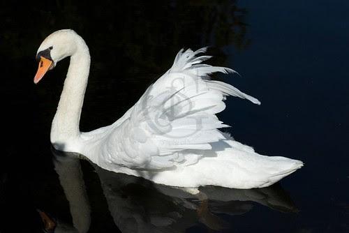 Orillia - Sanctuary Swan (2)