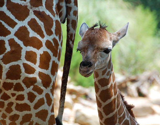 611px-One_day_old_giraffe_with_mother_-Birmingham_Zoo