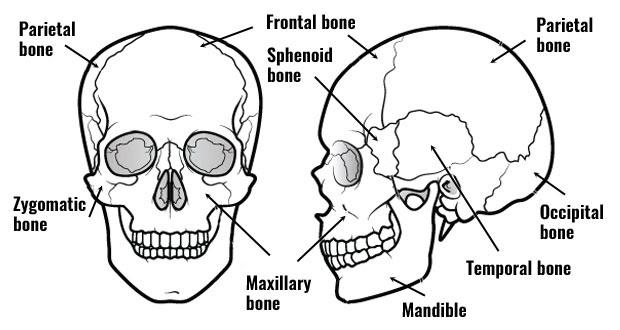 bones of the skull620