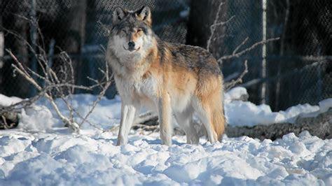 hd gray wolf widescreen wallpaper