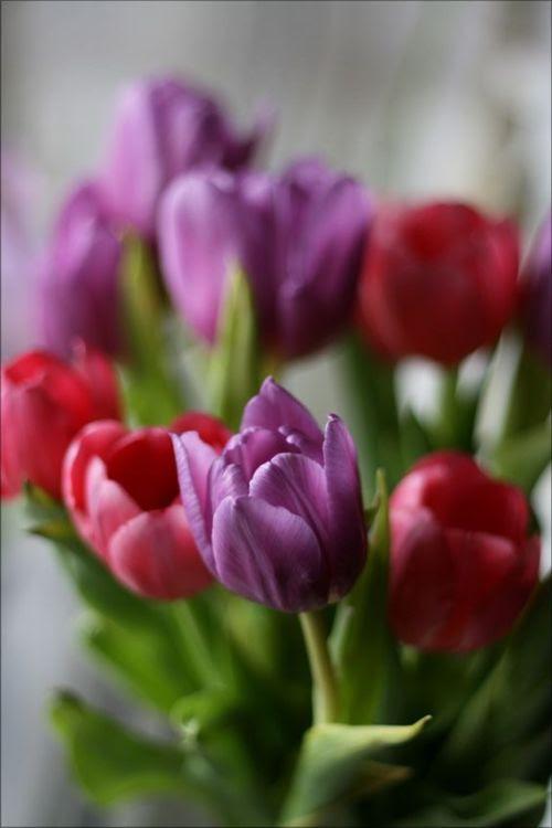 "seasonalwonderment: ""~ Tulips ~ """