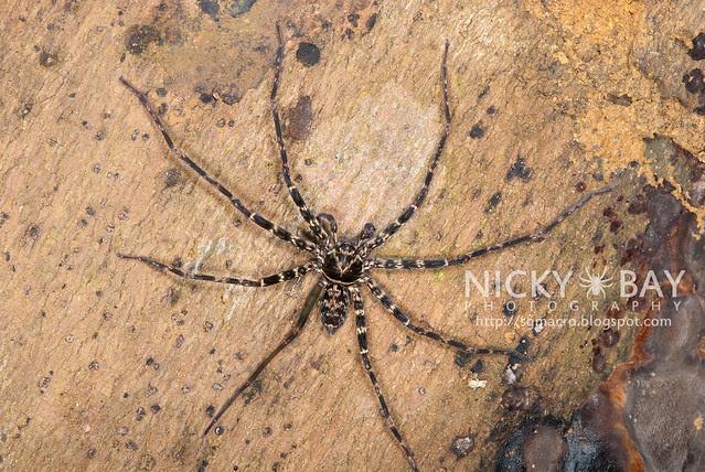 Huntsman Spider (Sparassidae) - DSC_6009