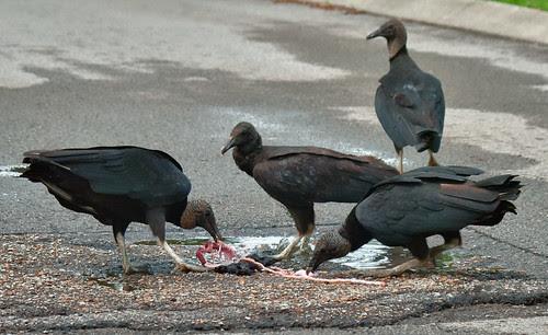 Black Vulture (Coragyps atratus) by Josh Beasley