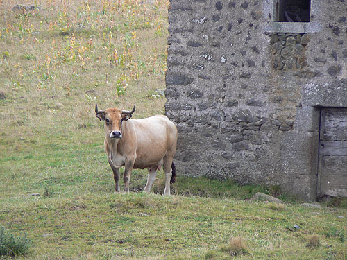 vache dvt le buron.jpg