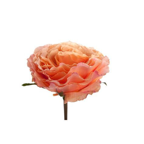 Peach Garden Rose   Campanella Peach   Garden Roses