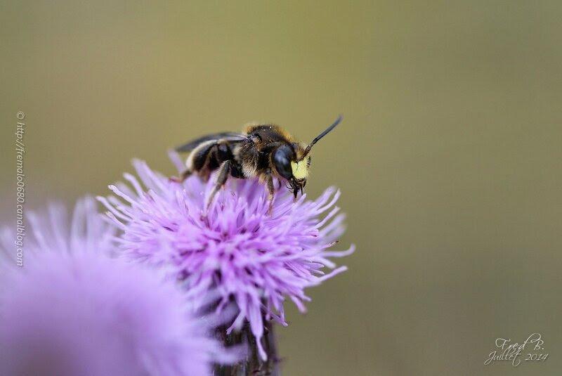 Hymenoptera indéterminé