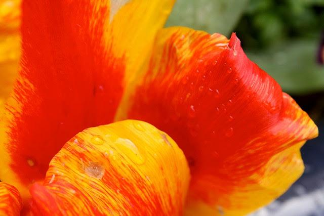 tulip, sw morrison