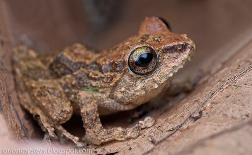 IMG_8878 merged copy Peter's Bush Frog, Philautus petersi