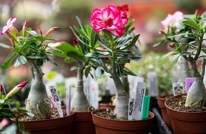 Do's and Don'ts of growing Desert Rose plant: