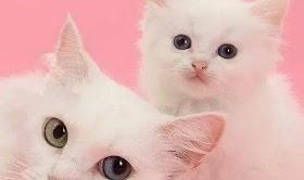 Kucing Lucu Pink