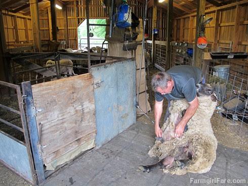 (28-31) Da Big Guy was the first sheep to be sheared this year - FarmgirlFare.com