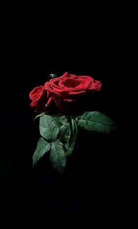 Gambar Bunga Mawar Merah Hitam