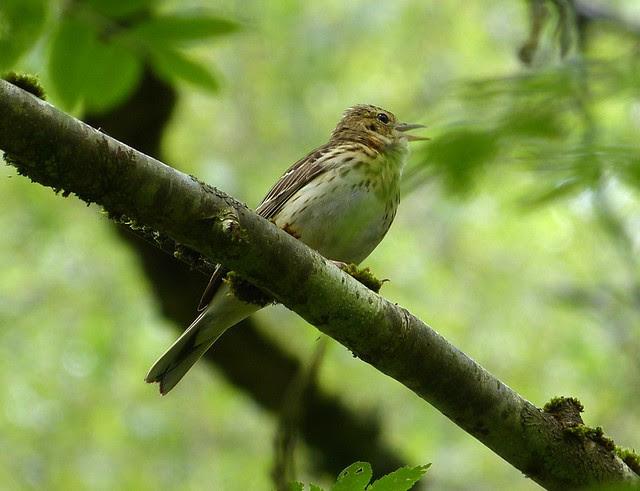 27384 - Tree Pipit, RSPB Dinas