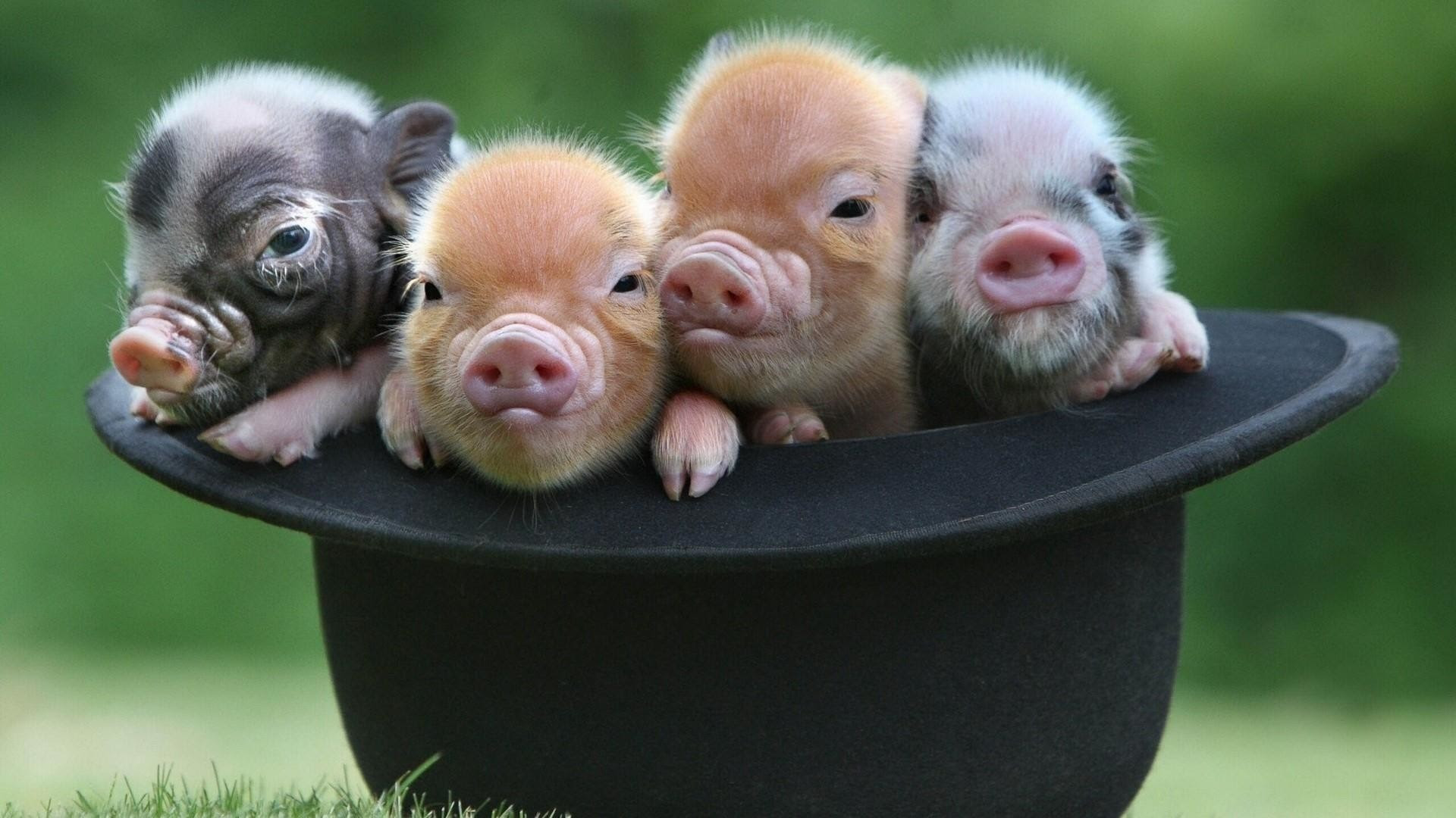 Pig Wallpaper (62+ images)