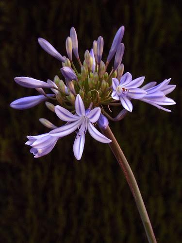 Lily by Fahad Ali Shahid