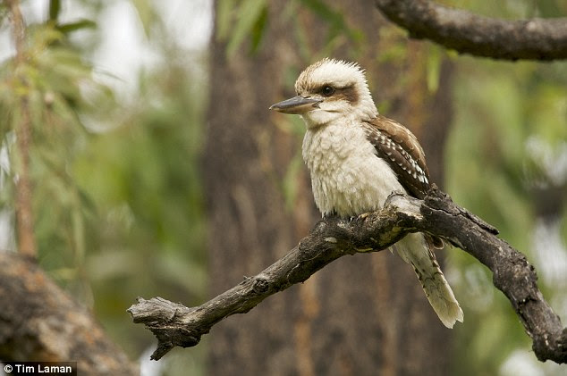 The odds of seeing a kookaburra have decreased at a rate of 40 per cent across south-eastern Australia, which includes Melbourne, Sydney, Brisbane and Adelaide