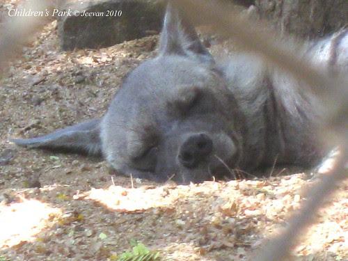 poor hyena