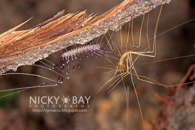 House Centipede (Scutigeridae) - ESC_0014
