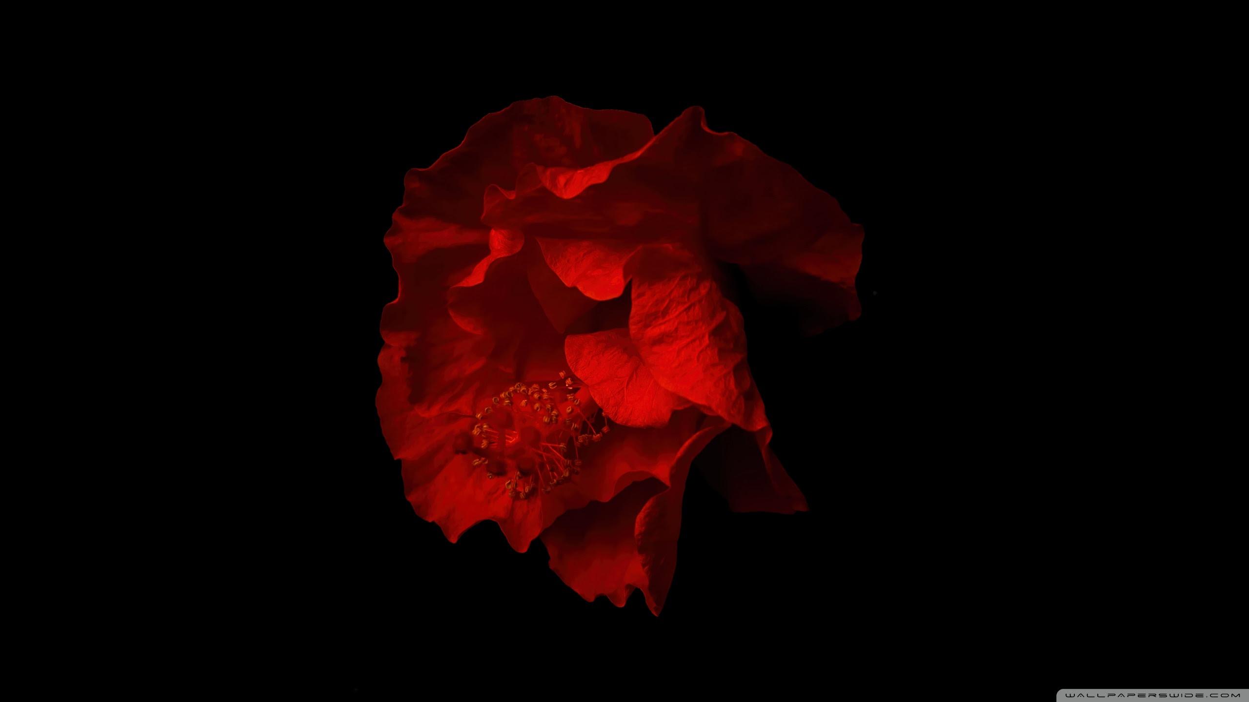 Beautiful Red Hibiscus Flower Black Background Ultra Hd Desktop