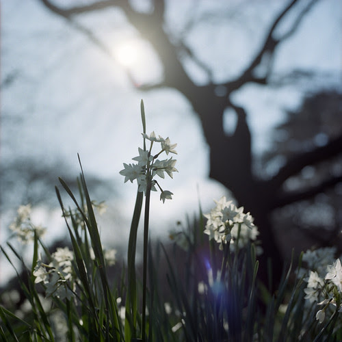 morning narcissus by F_blue