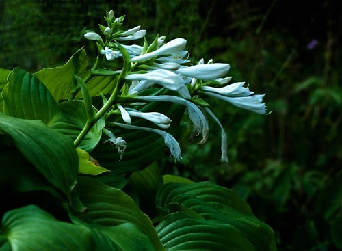 Hosta plants can be found in most of local shade gardens