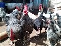 Kuroiler Chicken Farming in Kenya: Business Plan and Tips